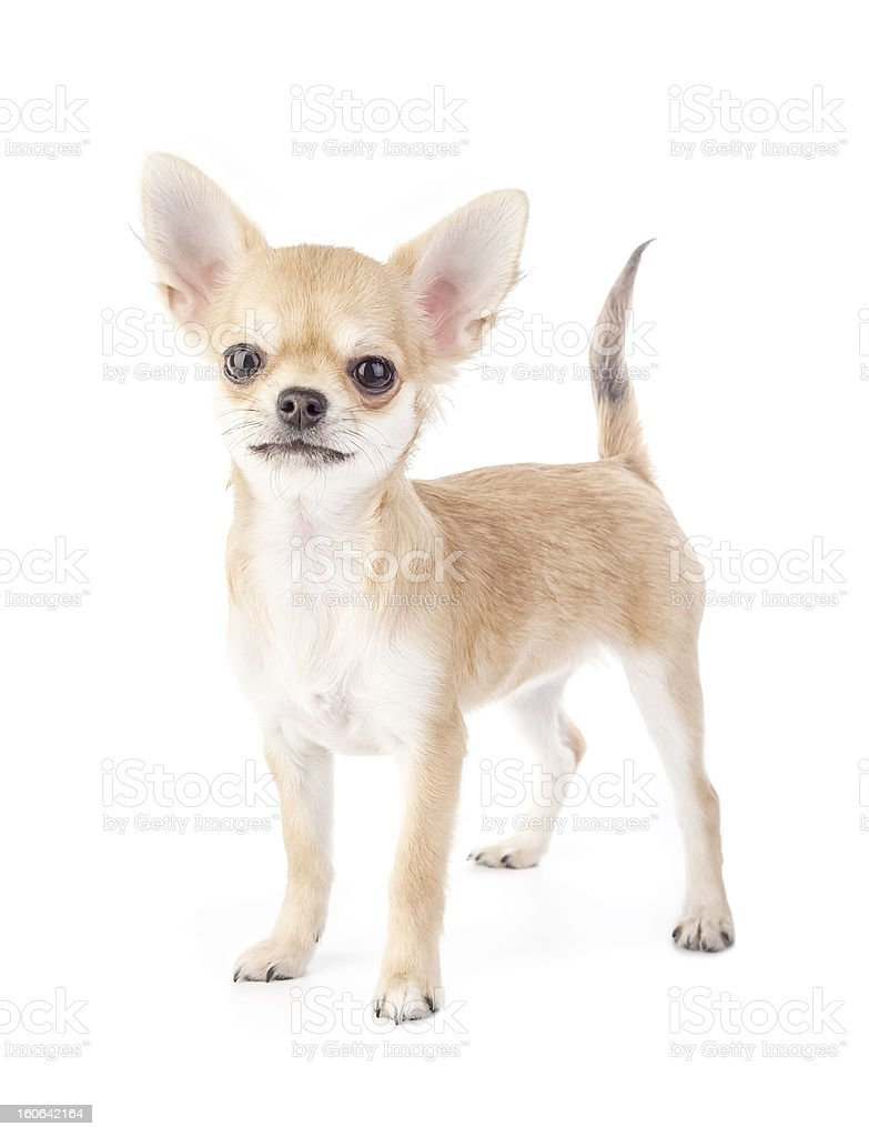 Stacking purebred chihuahua puppy royalty-free stock photo