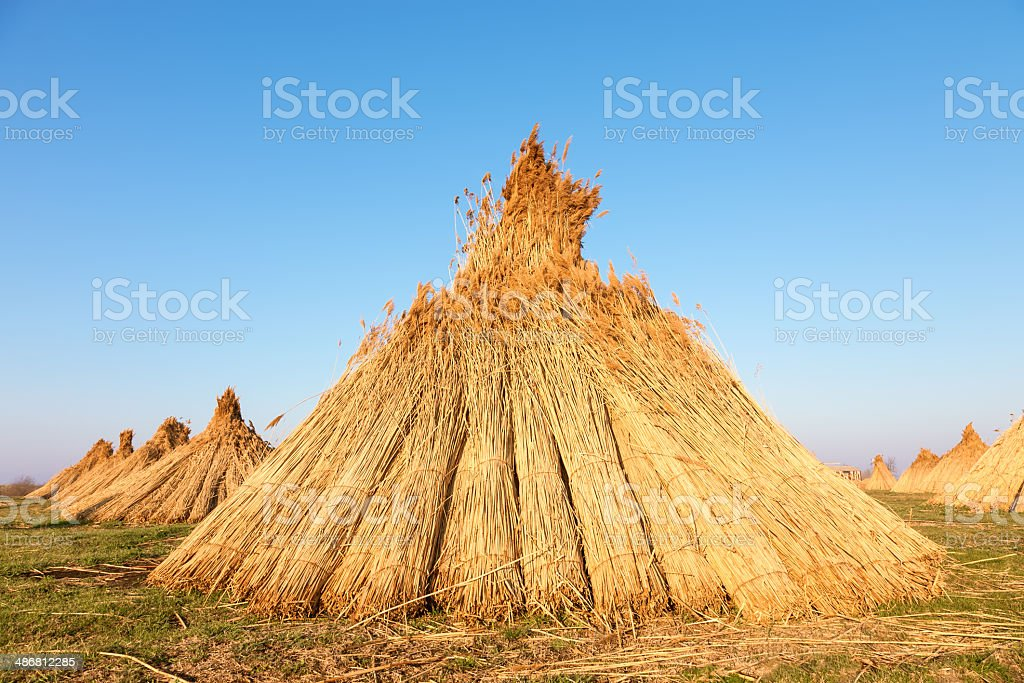 Stacks of freshly harvested reed royalty-free stock photo