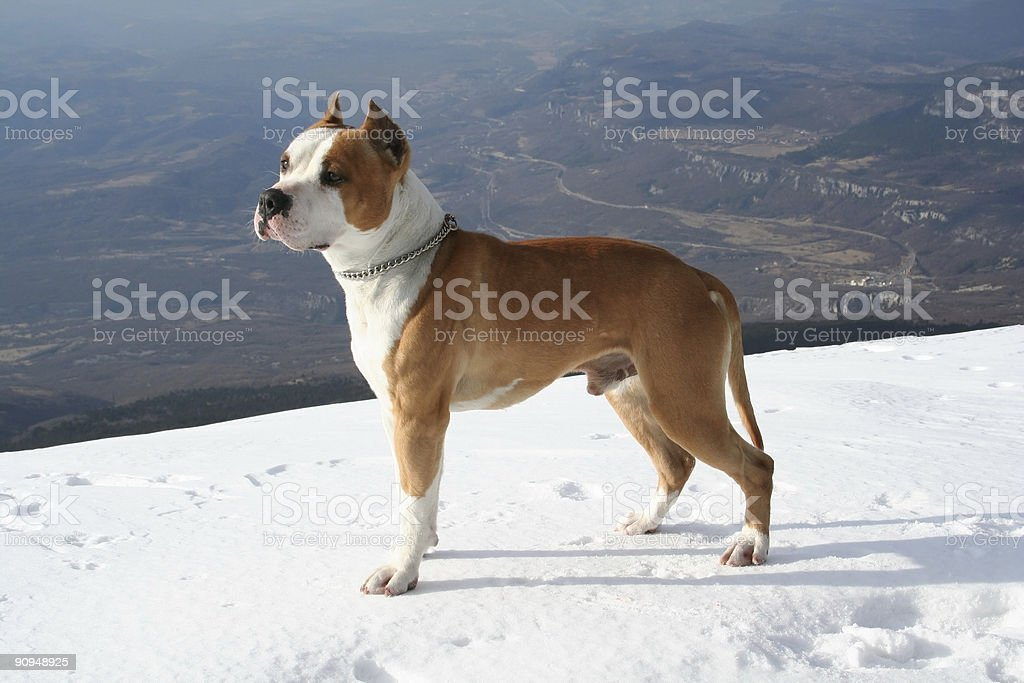 Stafford terrier royalty-free stock photo