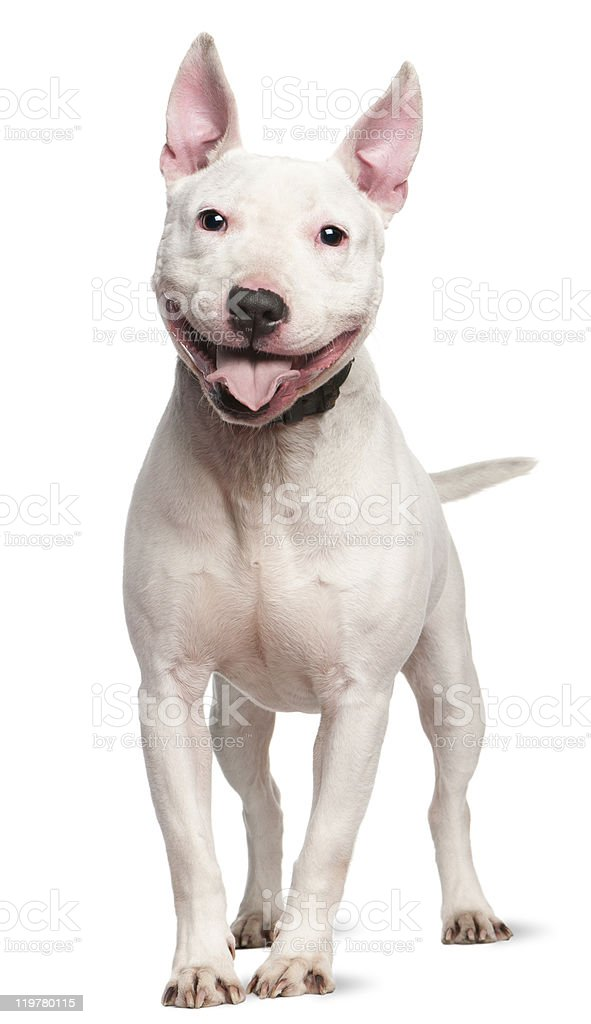 Staffordshire Bull Terrier, 4  years old, standing, white background stock photo