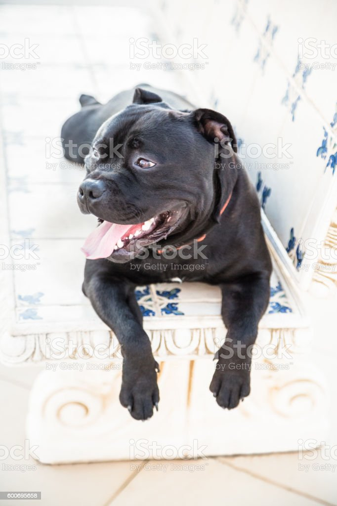 Staffordshire Bull Terrier dog lying on a stone bench. stock photo