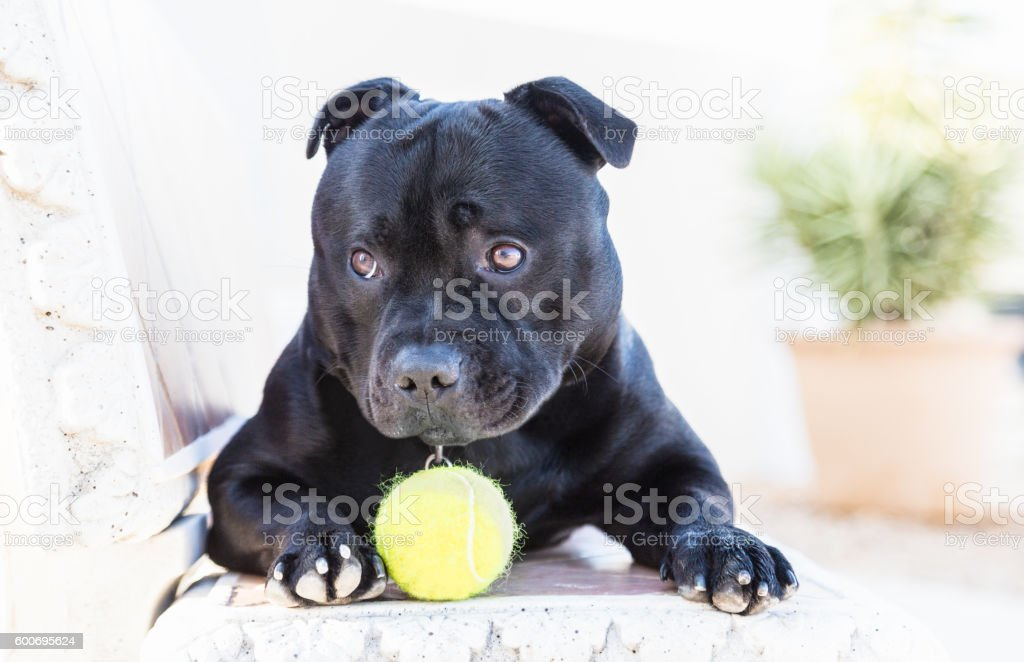 Staffordshire Bull Terrier dog with ball looking cute stock photo