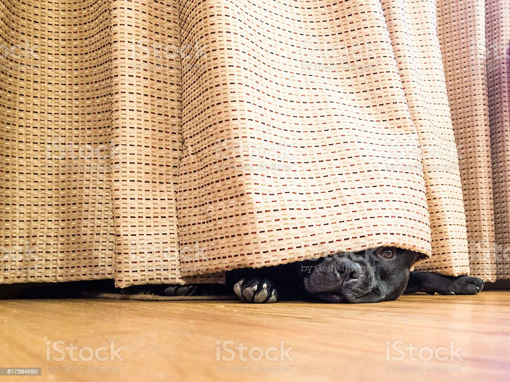 Staffordshire Bull Terrier hding under a curatin stock photo