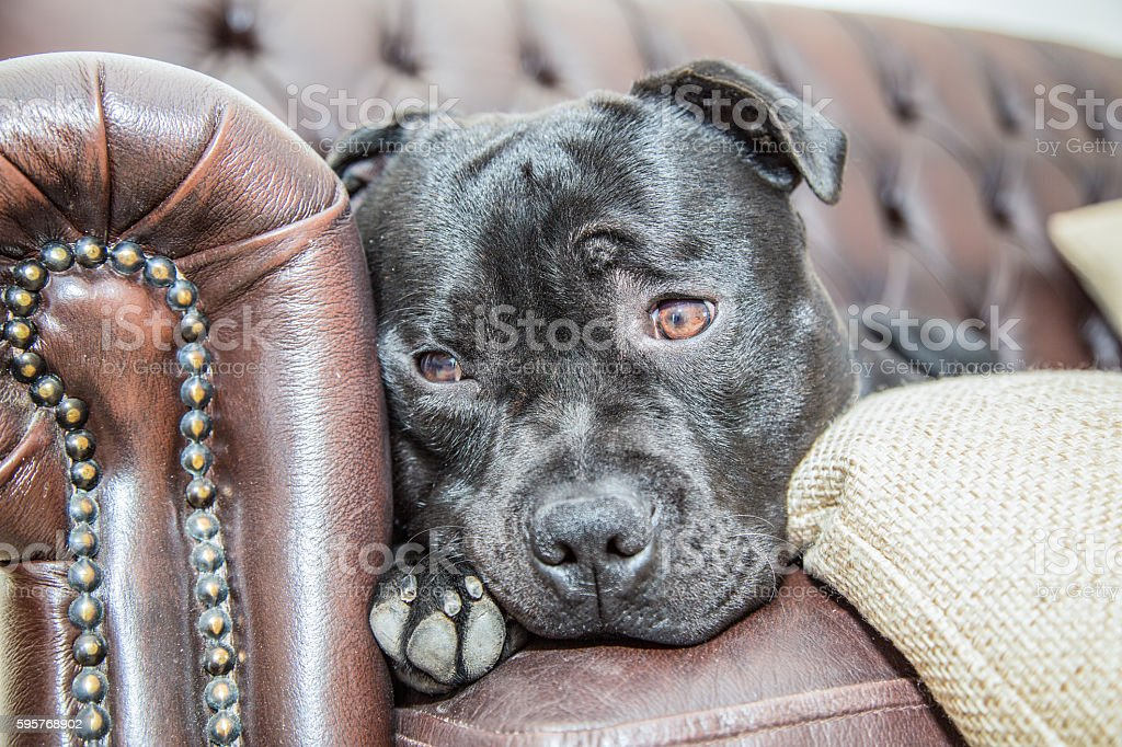 Staffordshire Bull Terrier  on a leather sofa stock photo