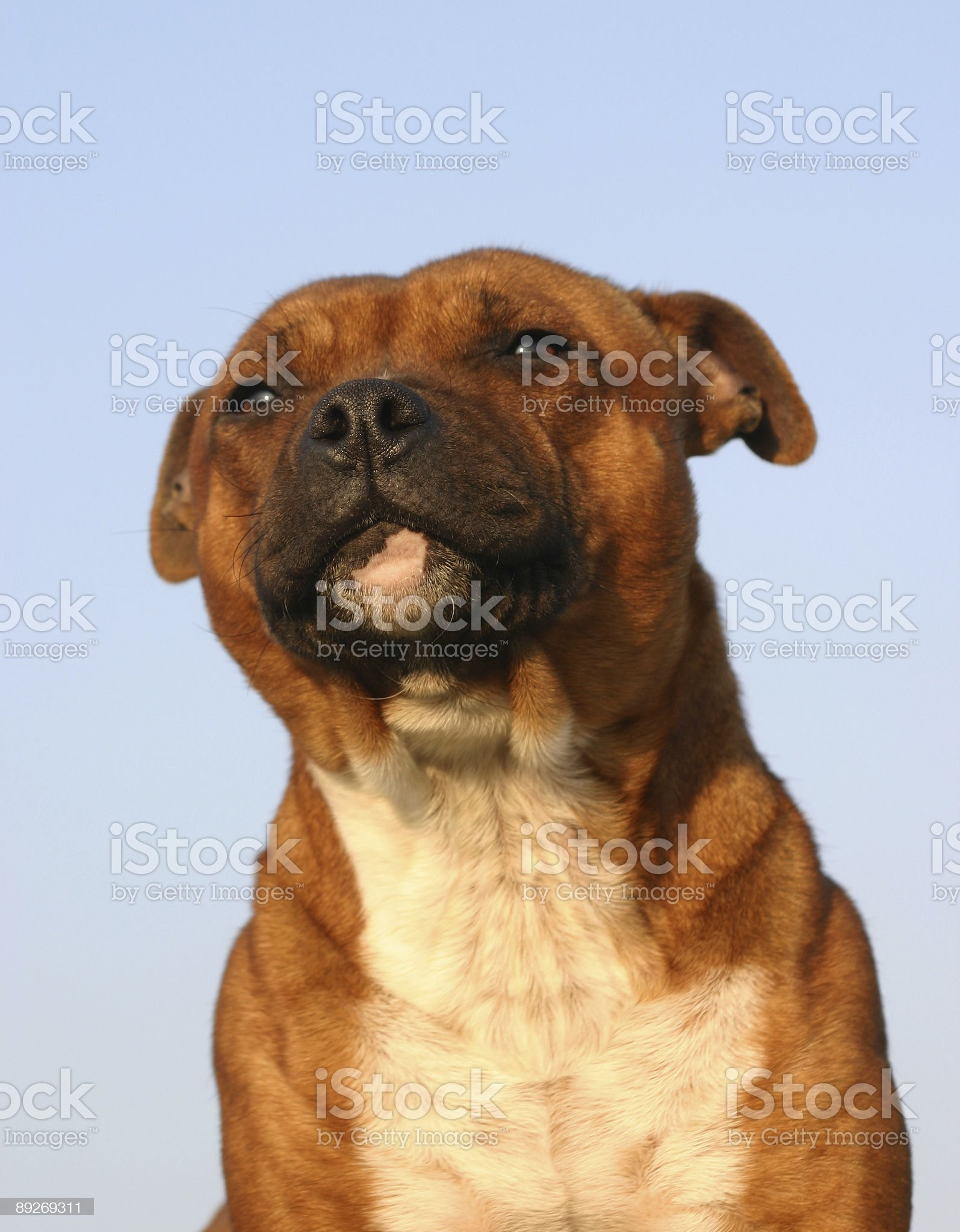 staffordshire bull terrier royalty-free stock photo
