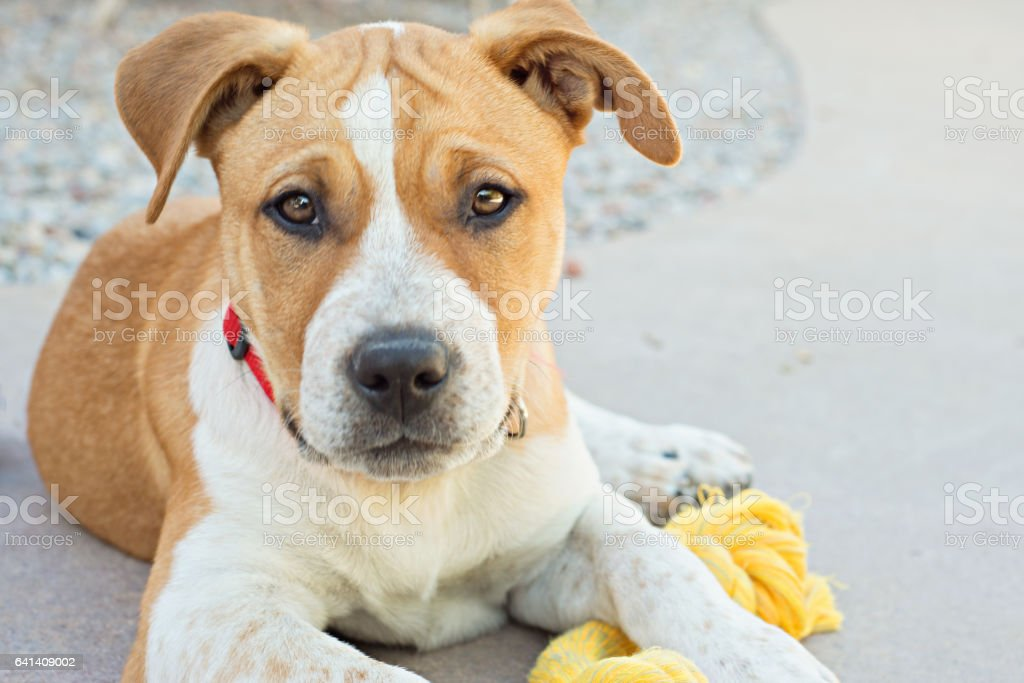 Staffordshire Bull Terrier Puppy stock photo