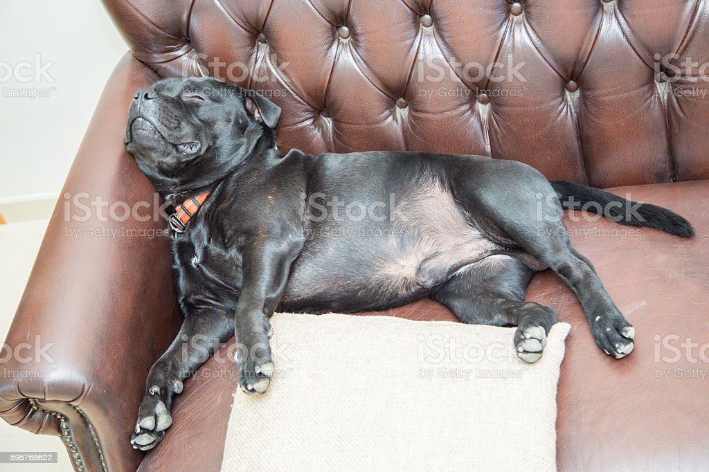 Staffordshire Bull Terrier sleeping on a leather sofa stock photo