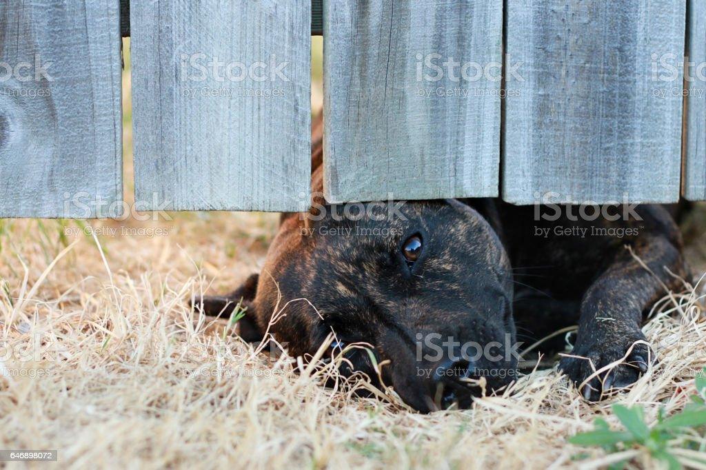 Staffordshire Terrier Dog Looking Under The Fence stock photo