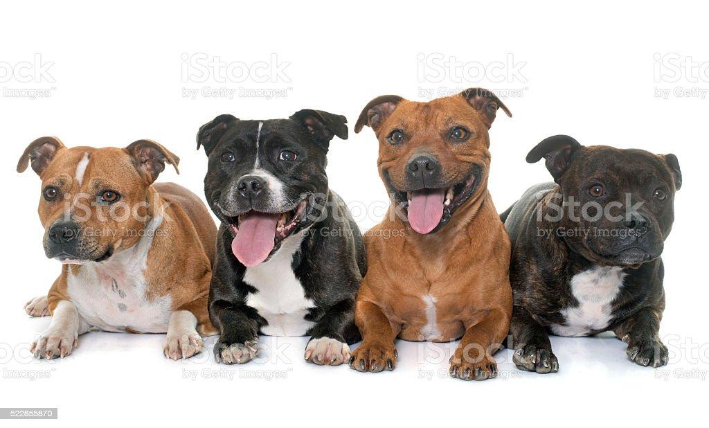 stafforshire bull terriers stock photo