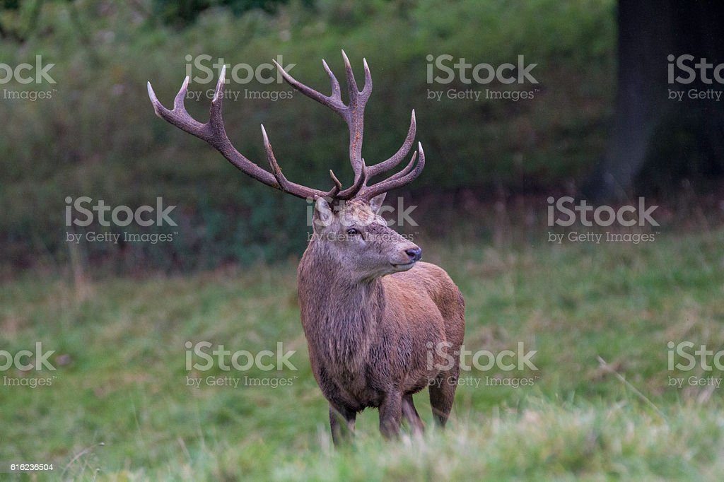 Stag at Fountains Abbey stock photo