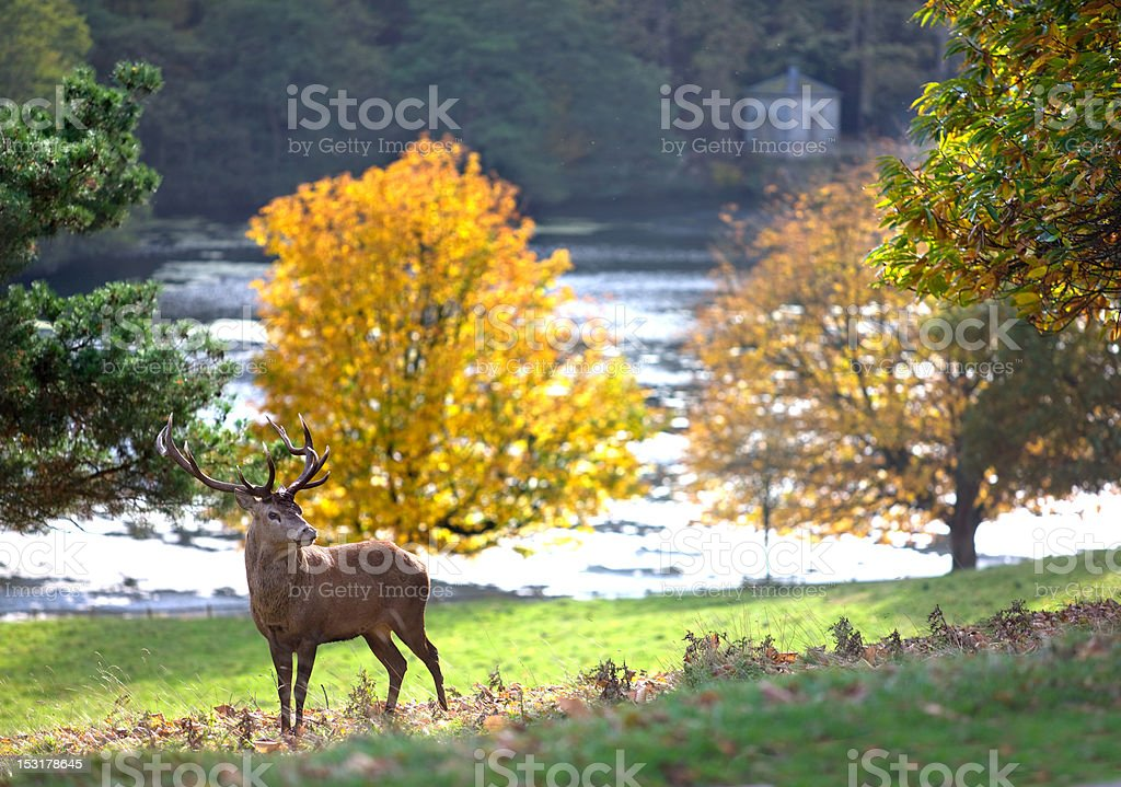 Stag at grounds of Fountains Abbey stock photo