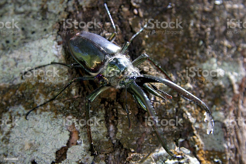Stag Beetle, Chile royalty-free stock photo