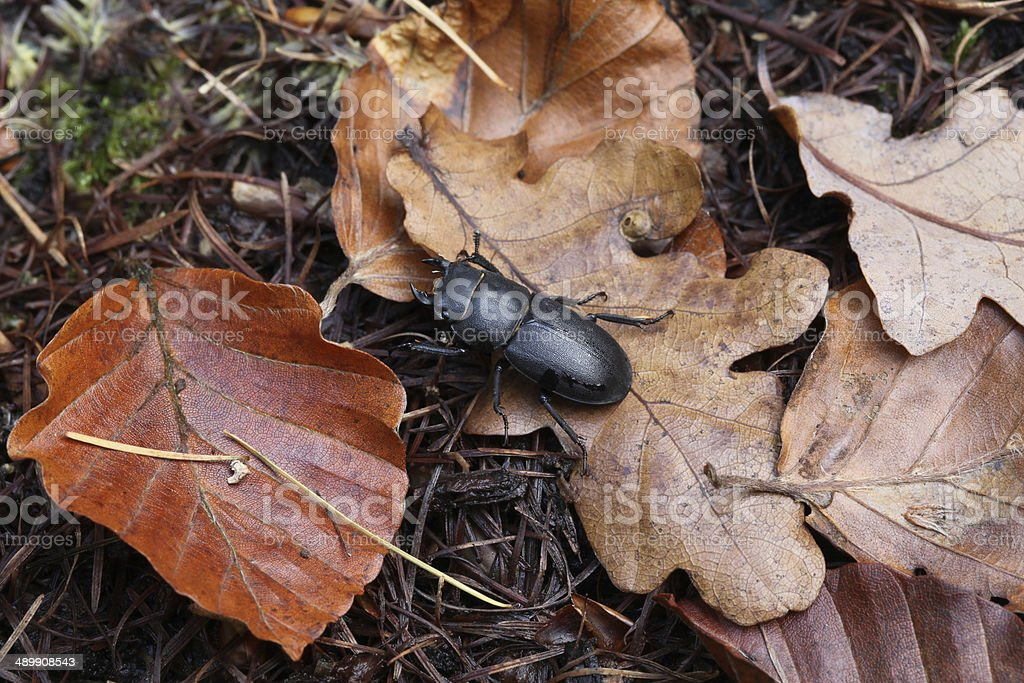 stag beetle, female stock photo