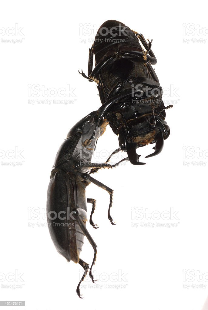 stag beetle fighting royalty-free stock photo