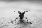 Stag beetle in action