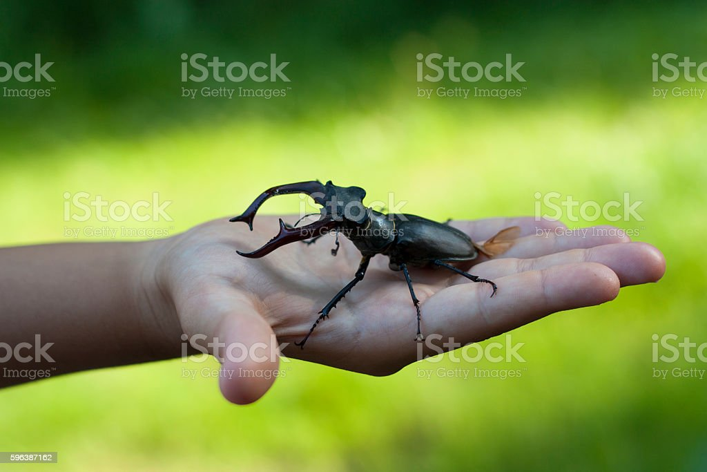 Stag beetle insect in a kid child hand photo stock photo