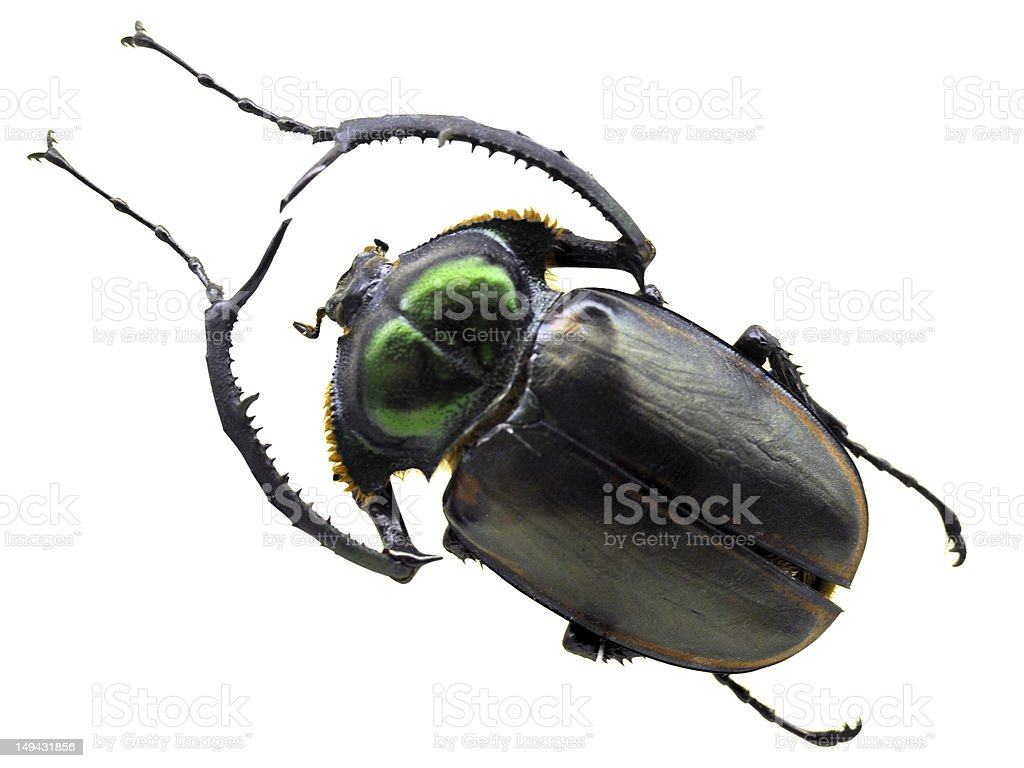 Stag Beetle - Large stock photo