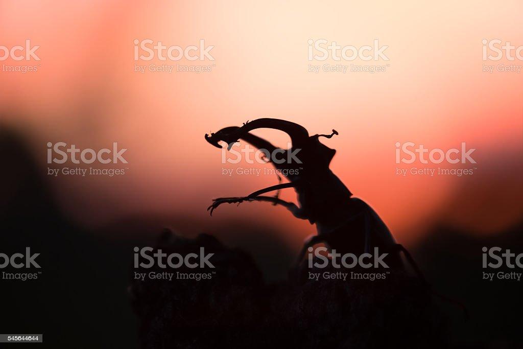 Stag beetle, Lucanus cervus in sunset stock photo