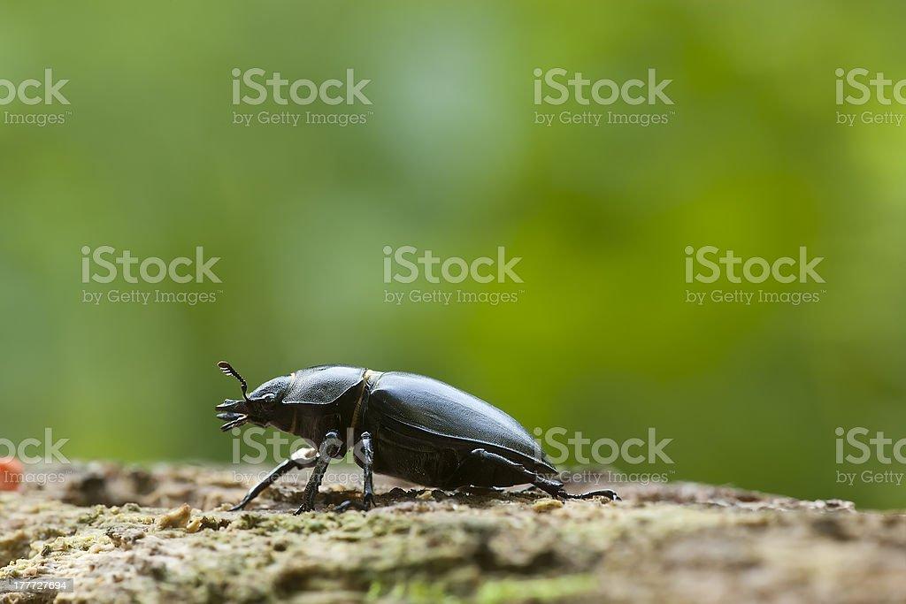 Stag beetle, Lucanus cervus on oak, macro photo royalty-free stock photo