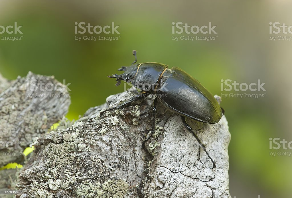 Stag beetle on oak, macro photo royalty-free stock photo