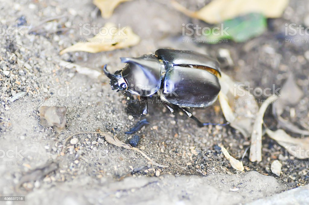 stag beetle on the floor stock photo