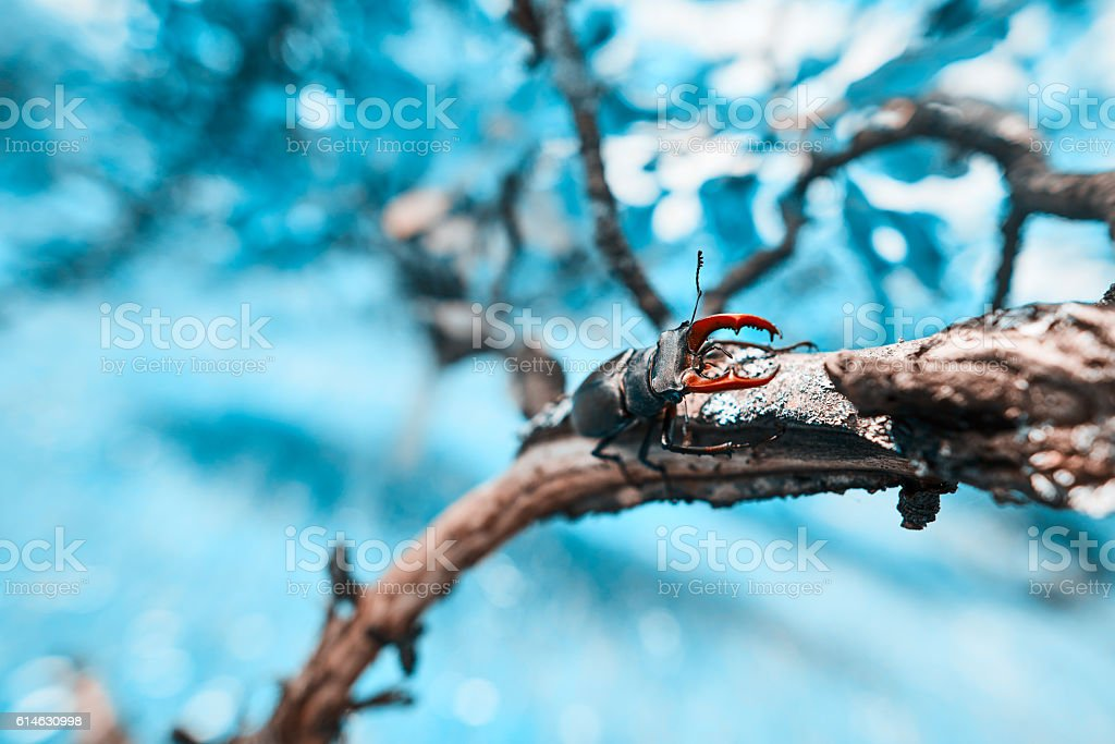 stag beetle on tree branch in spring day stock photo