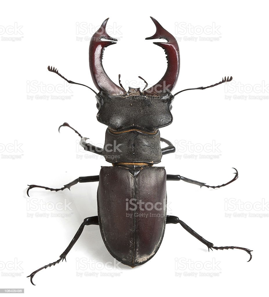 Stag beetle royalty-free stock photo