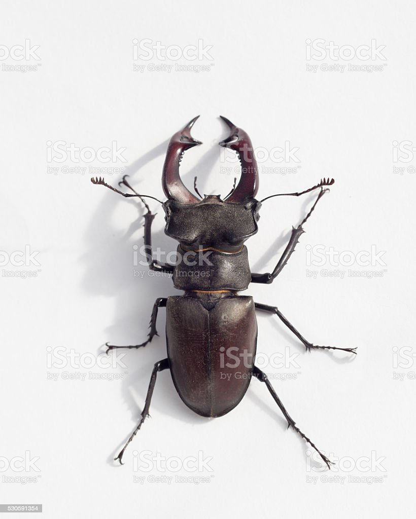 stag beetle stock photo
