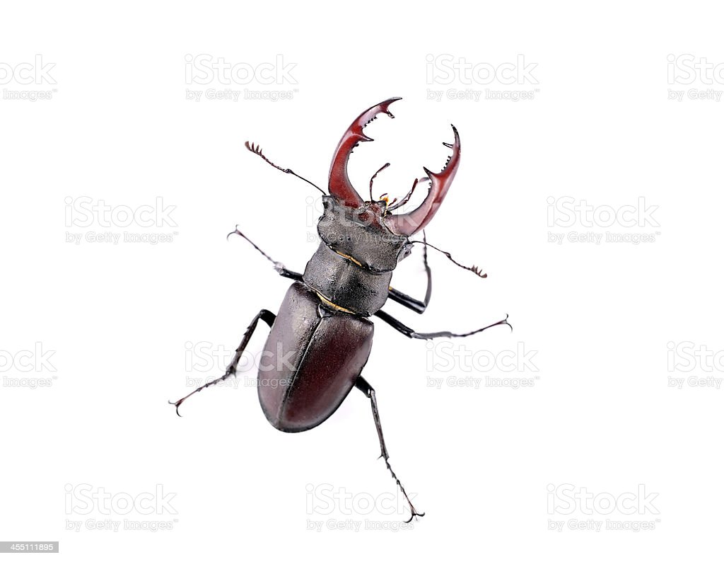 Stag beetle top view stock photo