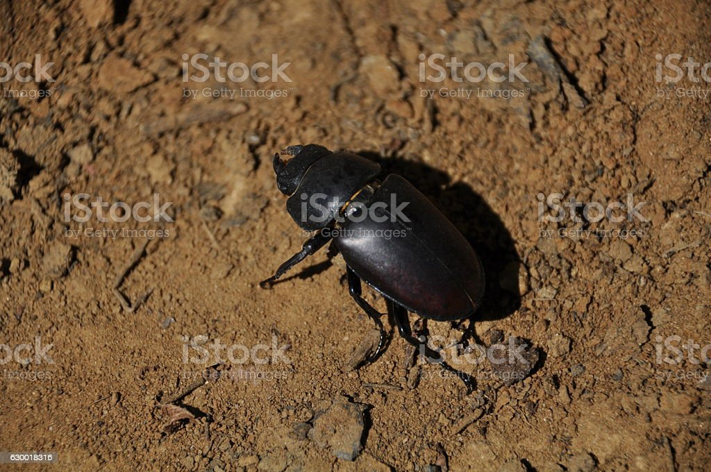 Stag bettle stock photo