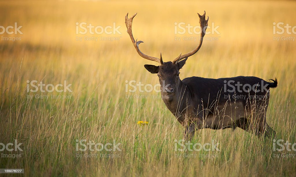 Stag deer in the grass stock photo