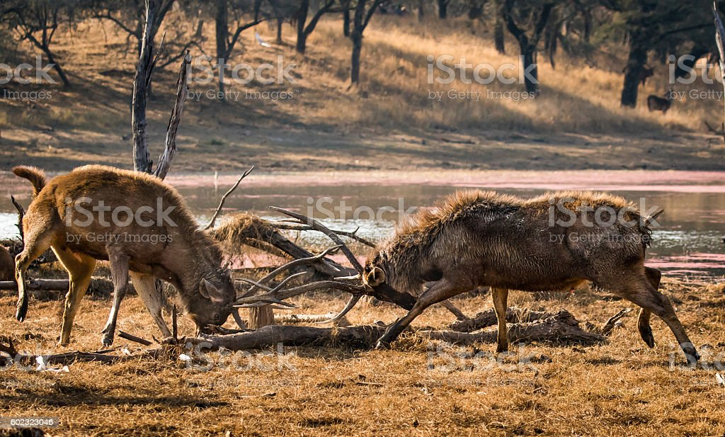 Stag Deers Fighting stock photo