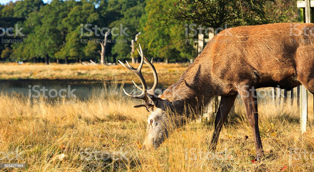 Stag Grazing in Richmond Park stock photo