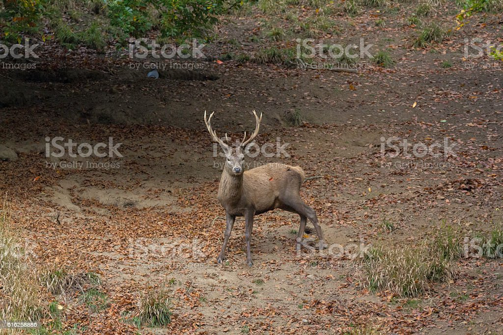 Stag in a leafy clearing stock photo