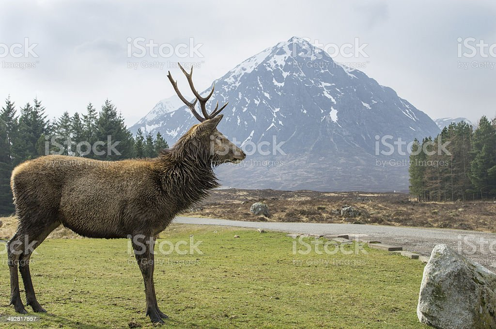 Stag in front of Buachaille Etive Mor stock photo