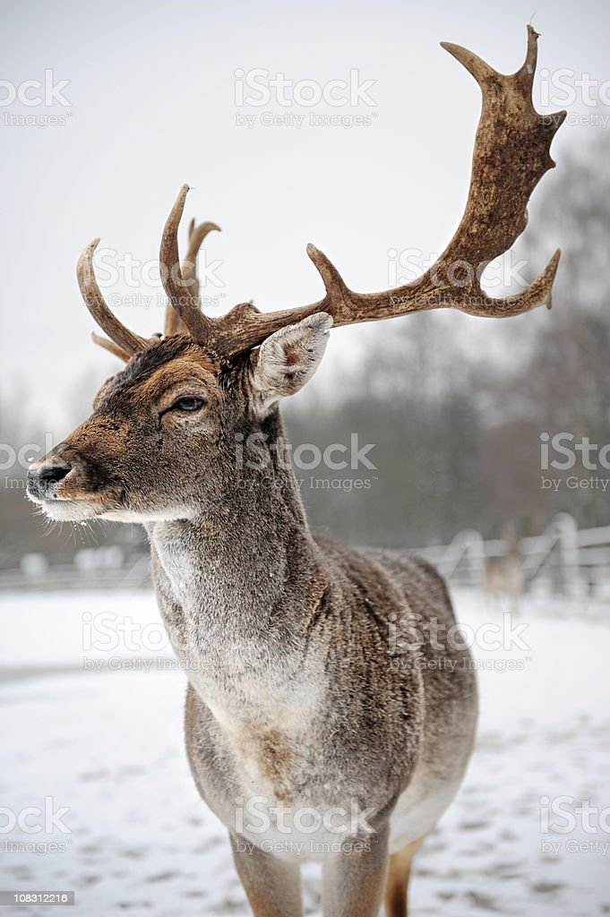 Stag in Winter stock photo