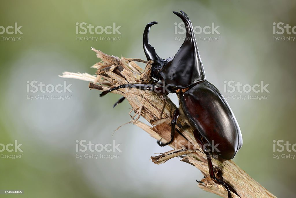 Stag or Rhinoceros beetle on wood stock photo