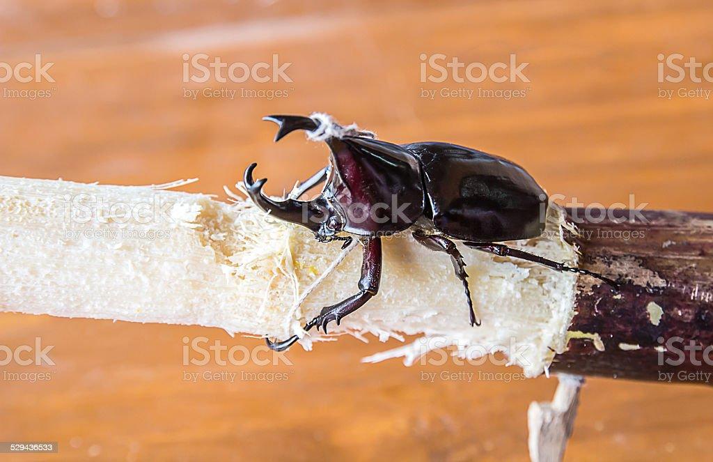 Stag or Rhinoceros beetle on wood stock photo