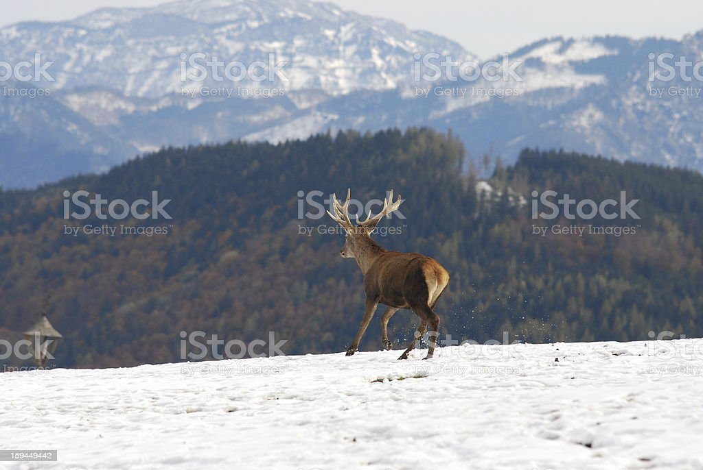 stag running through the snow royalty-free stock photo