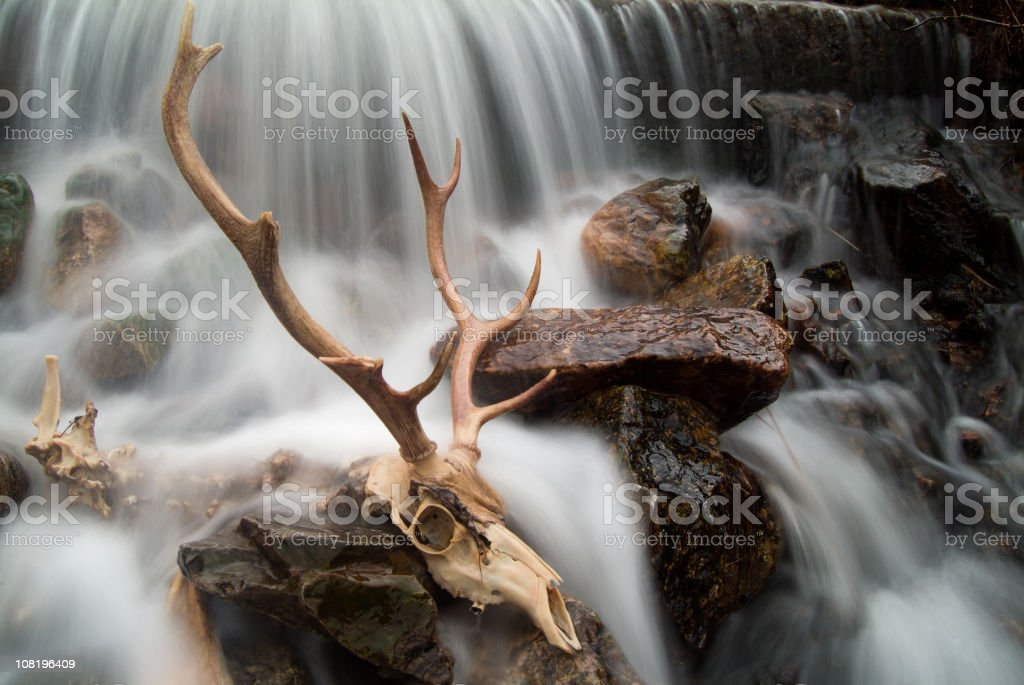 Stag skull royalty-free stock photo