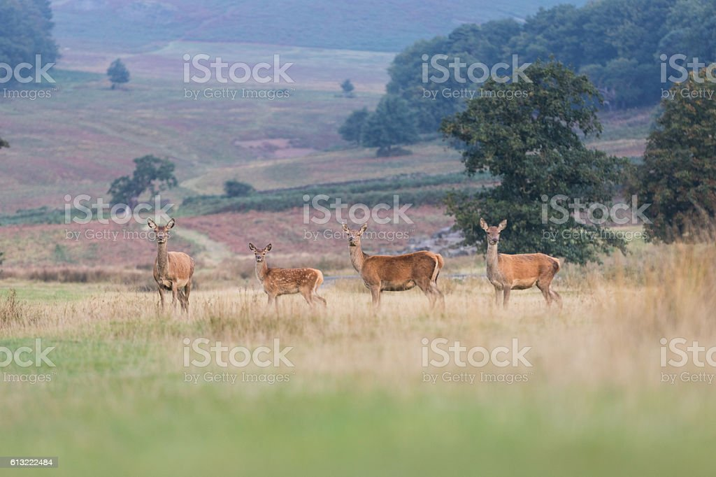 Stag spar session stock photo