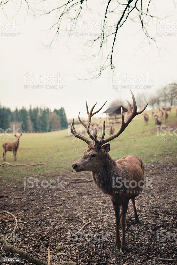 Stag with impressive antlers stock photo