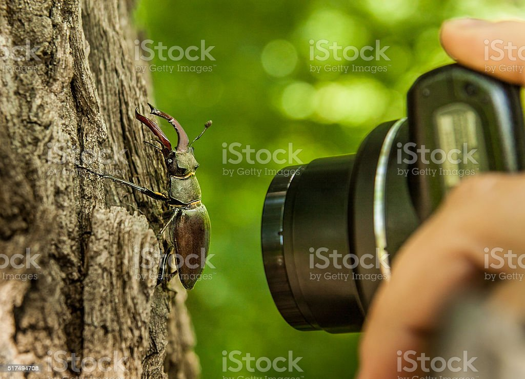 Stag-beetle on a tree and a hand with camera stock photo