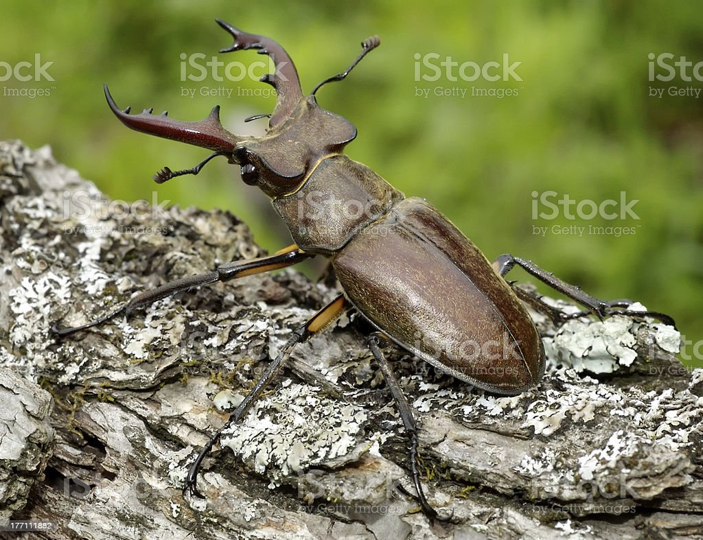 Stag-beetle stock photo