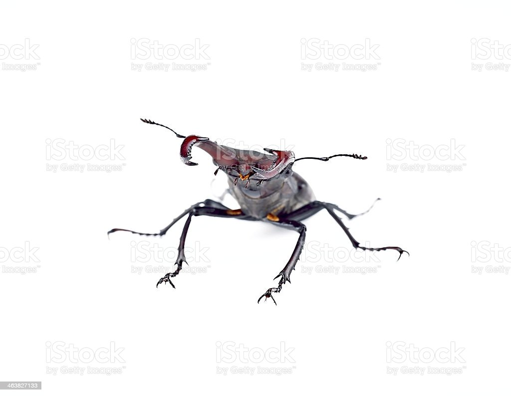 Stag-beetle stock photo