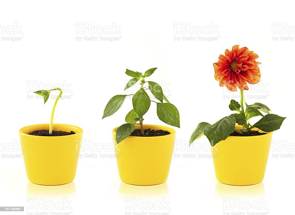 Stages of growth of a red flower in a yellow pot royalty-free stock photo