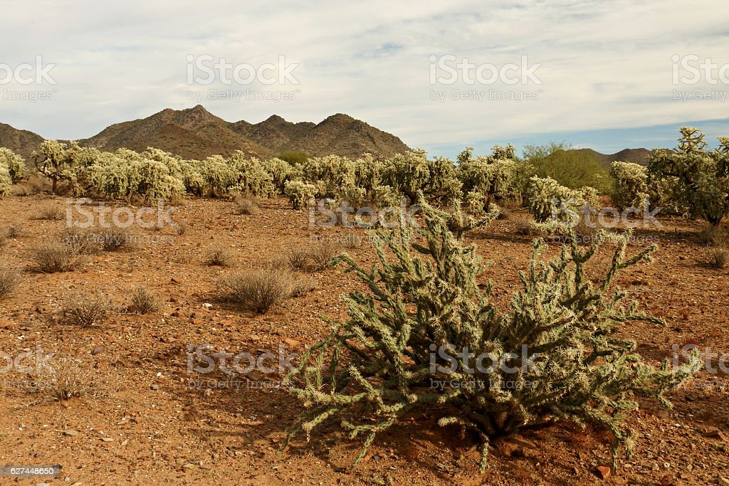 Staghorn Cactus in front of Cholla stock photo