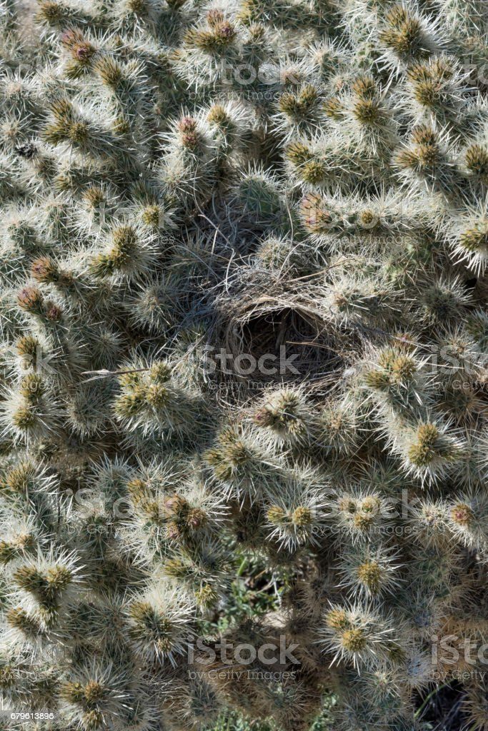 Staghorn Cactus with an Old Bird's Nest stock photo
