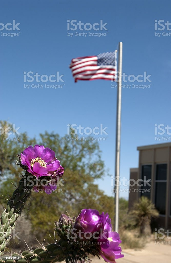 Staghorn Cholla Cactus Blossoms stock photo