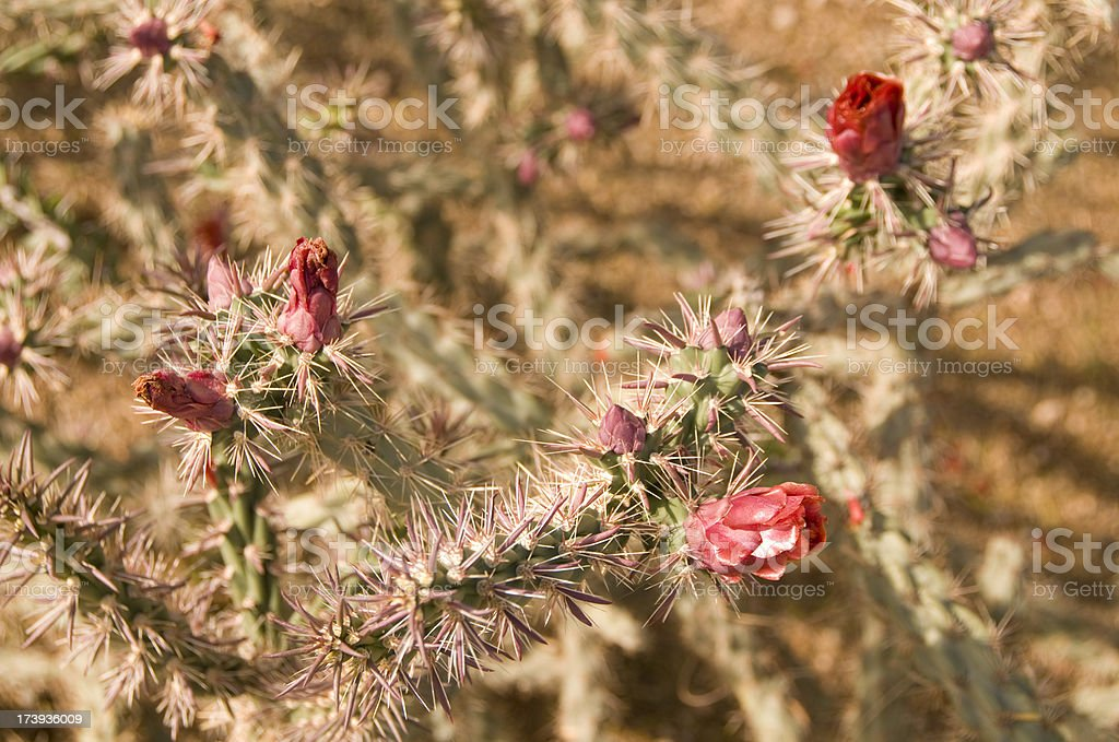 Staghorn Cholla stock photo